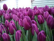 Тюльпан Purple Flag фиолетовый.