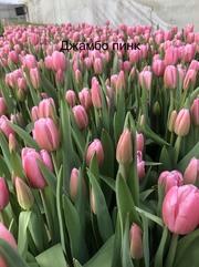 Тюльпаны оптом и в розницу.