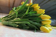 5 лучших сортов тюльпанов к 8 марта оптом