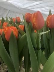 Закупка тюльпанов к 8 Марта оптом в Минске.