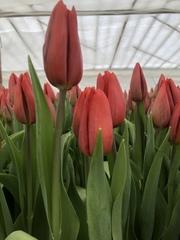 Тюльпаны Экстра класса Strong Love красные