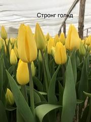 Тюльпан Strong Gold (Стронг Голд) желтый цвет